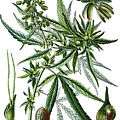 Cannabis Sativa by Bildagentur-online