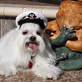 Captain Maltese Dog  by Sally Weigand