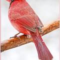 Cardinal Male In Winter by A Gurmankin