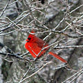 Cardinal On Icy Branches by Amy Tyler