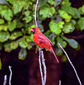 Cardinal Twigging A Break by Bill And Deb Hayes
