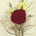 Carnations by English School