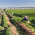 Carrot Harvest by Inga Spence
