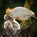 Cattle Egret Feeding Babies by Gregory Daley  MPSA