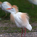 Cattle Egret Walking Close by Roy Williams