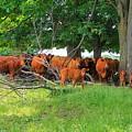 Cattle Herd by Anthony Djordjevic