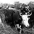 Cattle: Longhorns by Granger