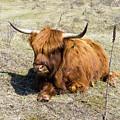 Cattle Scottish Highlanders, Zuid Kennemerland, Netherlands by Tetyana Ustenko