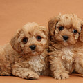 Cavapoo Pups by Mark Taylor