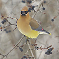 Cedar Wax Wing by Robert Pearson