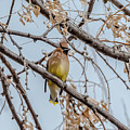 Cedar Waxwing Beauty by Yeates Photography