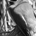 Cedar Waxwing by Sara Raber
