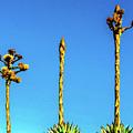 Century Plant by Randy J Heath