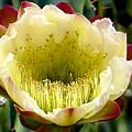 Cereus Cactus Flower by Barbara Zahno
