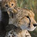 Cheetah Acinonyx Jubatus And Cub by Suzi Eszterhas