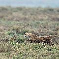 Cheetah Acinonyx Jubatus Hunting by Panoramic Images