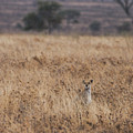 Cheetah In The Tall Grass by Marc Levine