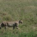 Cheetah On The Serengeti by William Morgan