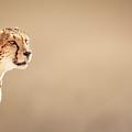 Cheetah Portrait by Johan Swanepoel