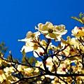 Cherry Blossom by Ivana Kovacic