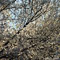 Cherry Blossom by Riccardo Forte