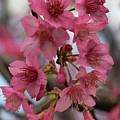 Cherry Blossoms by Pamela Walton