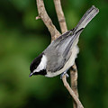 Chickadee by Betty LaRue