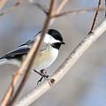 Chickadee by David Arment