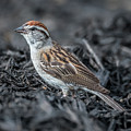 Chipping Sparrow by Michael Cunningham
