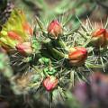 Cholla Cactus Flowers by Elaine Malott