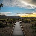 Cholla Cactus Garden, Joshua Tree National Park, Ca by Ryan Kelehar