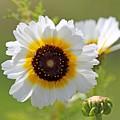 Chrysanthemum Named Polar Star by J McCombie