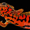 Chuxiong Fire Belly Newt by Dant� Fenolio