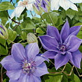 Clematis 2 by Jerrold Carton