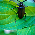 Climbing Beetle by Douglas Barnett