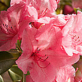 Close-up Of Pink Flowers In Bloom by Panoramic Images