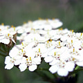 Close-ups Of A White Meadow Flower by PM Artistic
