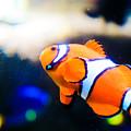 Clownfish by Brenton Woodruff