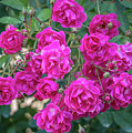 Cluster Of Roses by Jane Luxton