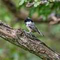 Coal Tit by Stephen Jenkins
