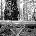 Coastal Redwoods  by Vincent Bonafede