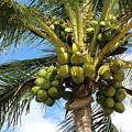 Coconut Tree by David Zuhusky