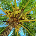 Coconuts In Tree by Bill Barber