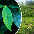 Collage Of  Tea Plantations In Munnar  by Mariusz Prusaczyk