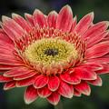 Colorful Daisy by Robert Fawcett