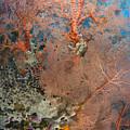 Colourful Sea Fan With Crinoid, Papua by Steve Jones