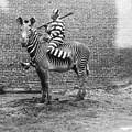 Comic Criminal Riding A Zebra by MotionAge Designs