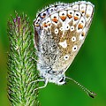 Common Blue Butterfly by Martyn Arnold