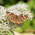 Common Buckeye Butterfly by Jill Lang