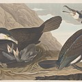 Common Cormorant by Dreyer Wildlife Print Collections